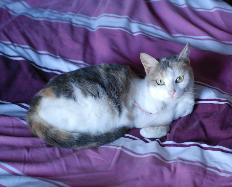 jouba - JOUBA, chatte européenne tricolore, née en 2014 Jouba_11