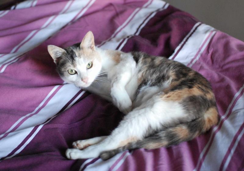 jouba - JOUBA, chatte européenne tricolore, née en 2014 Jouba_13