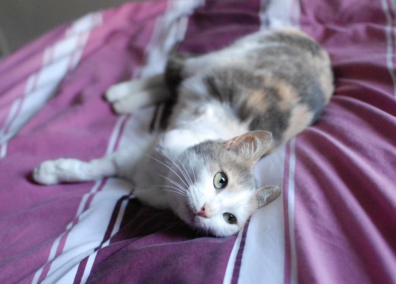 jouba - JOUBA, chatte européenne tricolore, née en 2014 Jouba_15