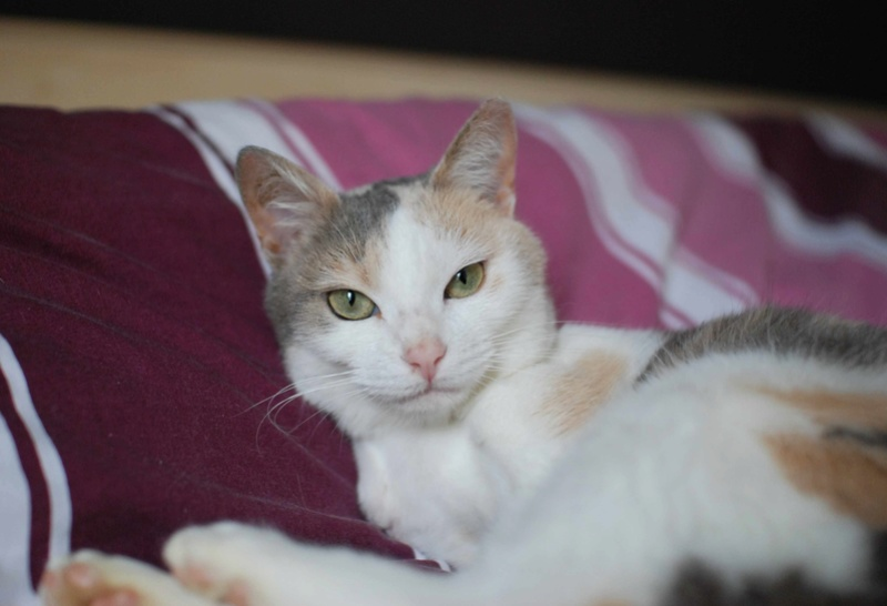 jouba - JOUBA, chatte européenne tricolore, née en 2014 Jouba_18