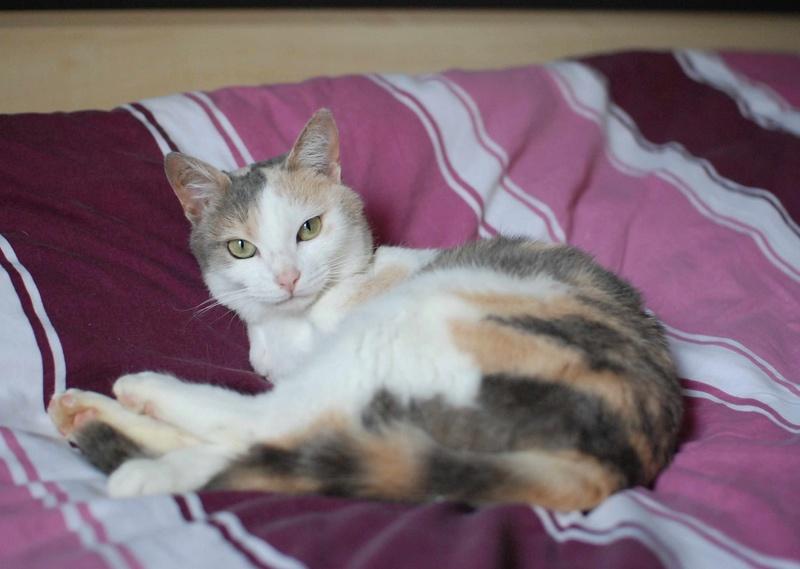 jouba - JOUBA, chatte européenne tricolore, née en 2014 Jouba_19