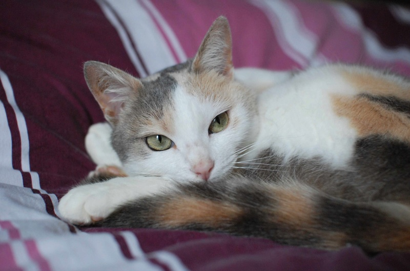 jouba - JOUBA, chatte européenne tricolore, née en 2014 Jouba_20
