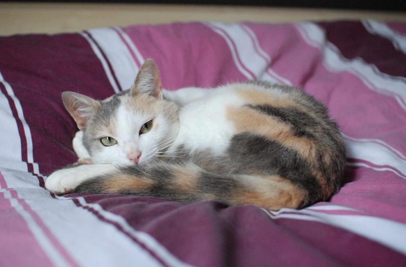 jouba - JOUBA, chatte européenne tricolore, née en 2014 Jouba_21