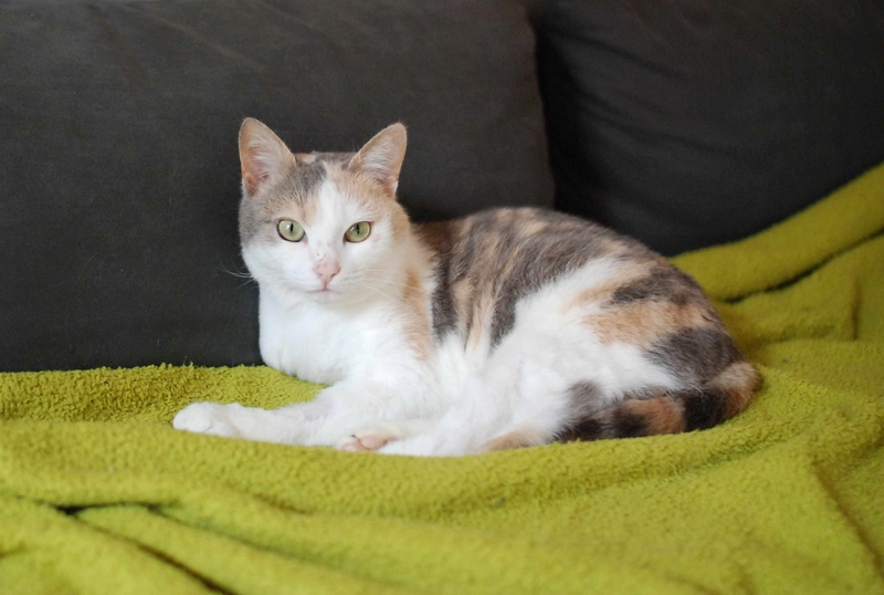 jouba - JOUBA, chatte européenne tricolore, née en 2014 Jouba_22