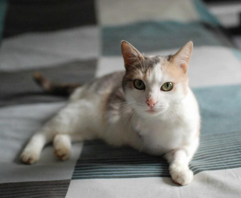 jouba - JOUBA, chatte européenne tricolore, née en 2014 Jouba_24