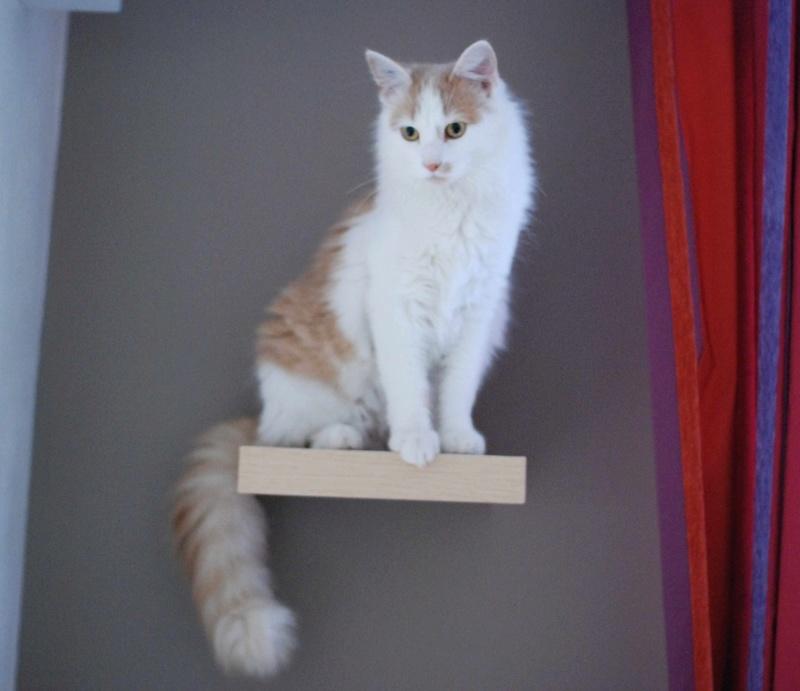 legston - LEGSTON, européen poils mi-longs blanc&roux, né en 2015 Legsto15
