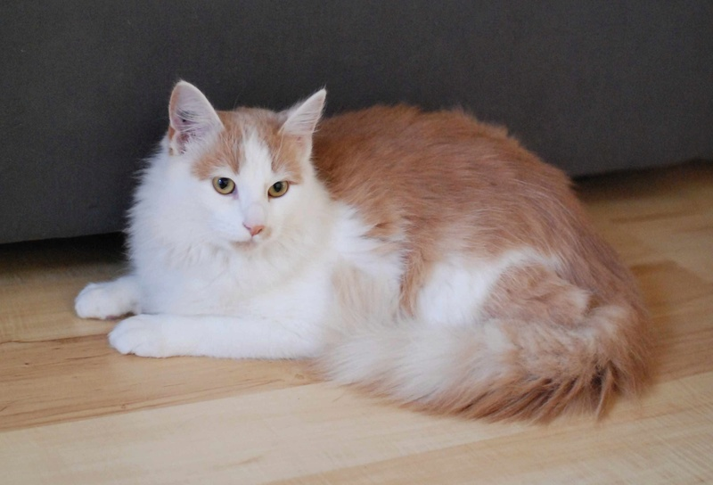 legston - LEGSTON, européen poils mi-longs blanc&roux, né en 2015 Legsto16