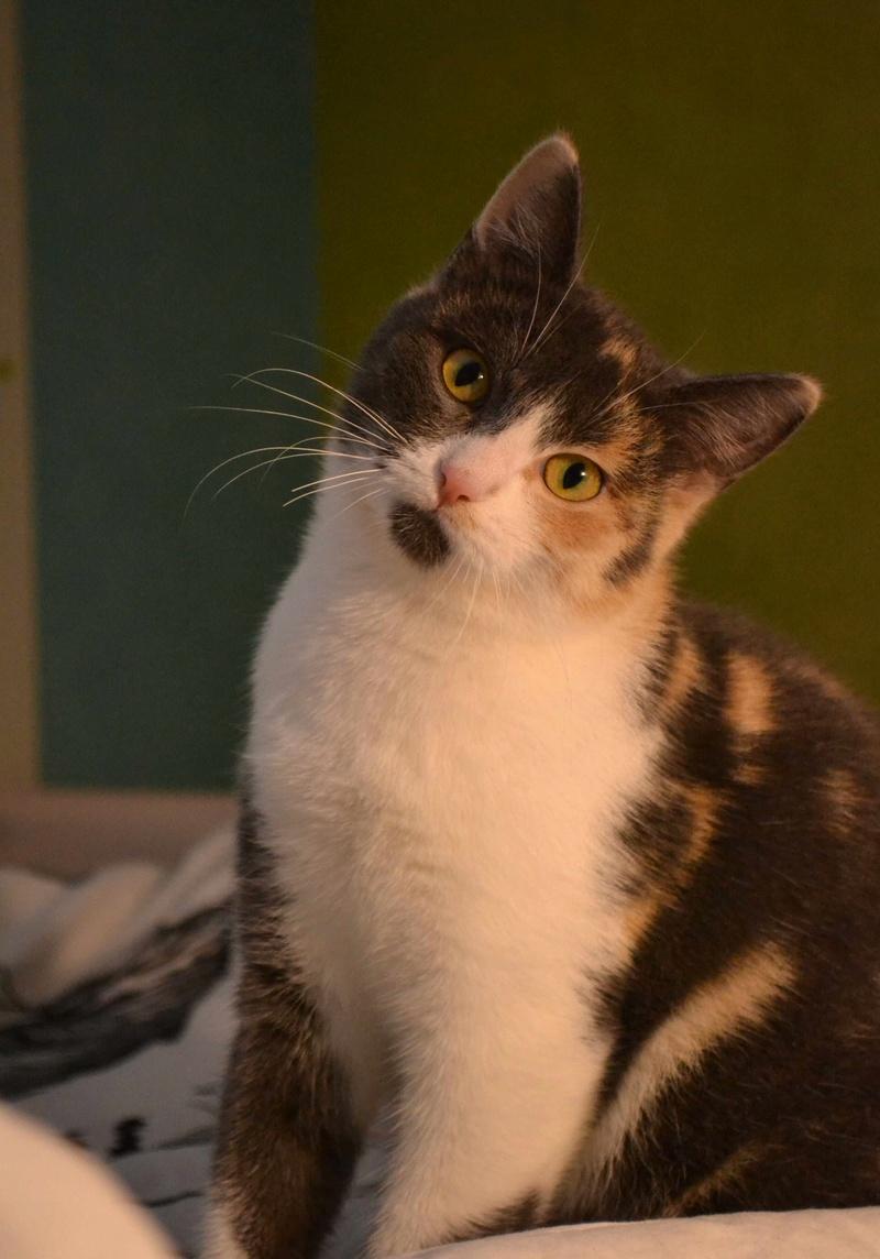 lisbeth - LISBETH, chatte européenne tricolore, née en 2015. Lisbet11