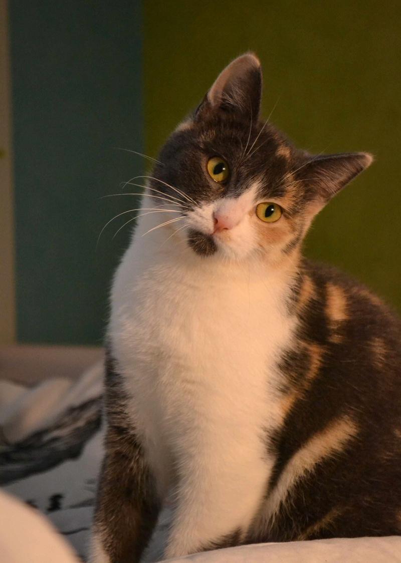 lisbeth - LISBETH, chatte européenne tricolore, née en 2015. Lisbet12