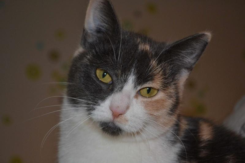 lisbeth - LISBETH, chatte européenne tricolore, née en 2015. Lisbet13