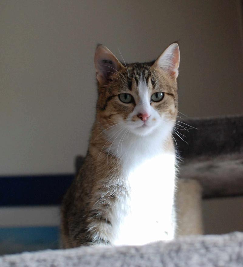 MALIKI, chatte européenne tigrée & blanche, née en mai 2016. Maliki11