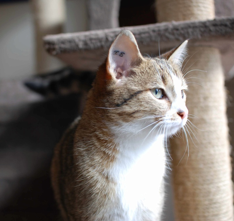 MALIKI, chatte européenne tigrée & blanche, née en mai 2016. Maliki12