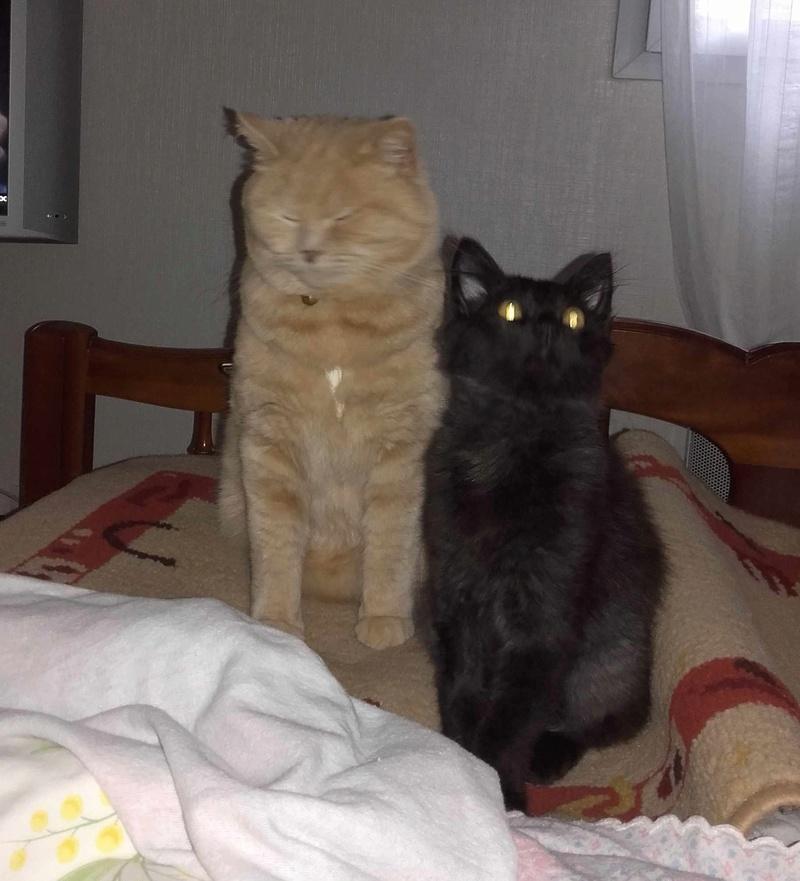 Marvin - MARVIN, chaton européen, robe noire, poils mi-longs, né en octobre 2016. Marvin10