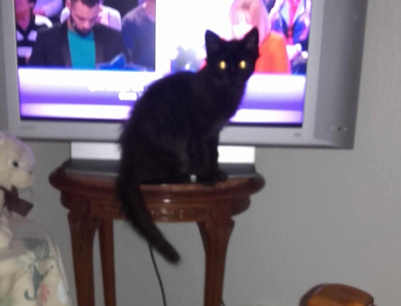 Marvin - MARVIN, chaton européen, robe noire, poils mi-longs, né en octobre 2016. Marvin11