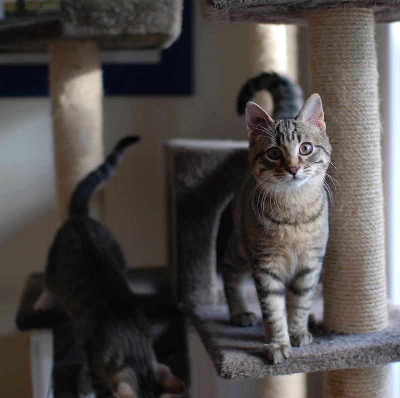 murano - MURANO, chaton européen tigré, né en Juin 2016 Murano11