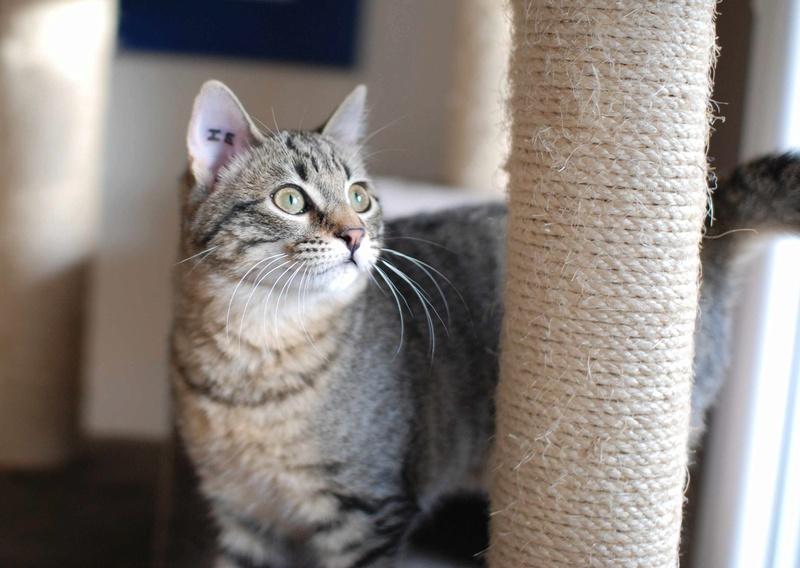 murano - MURANO, chaton européen tigré, né en Juin 2016 Murano12