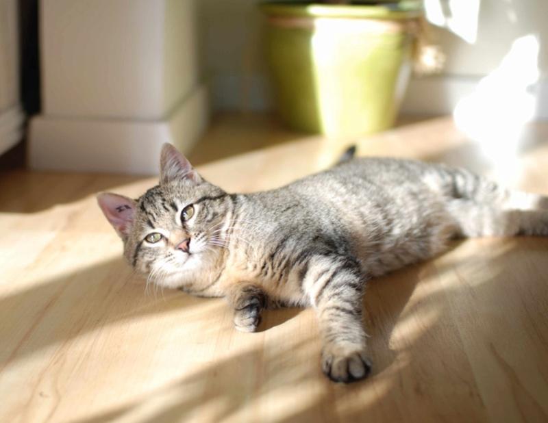 murano - MURANO, chaton européen tigré, né en Juin 2016 Murano13