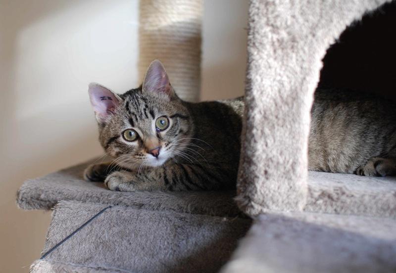 murano - MURANO, chaton européen tigré, né en Juin 2016 Murano16