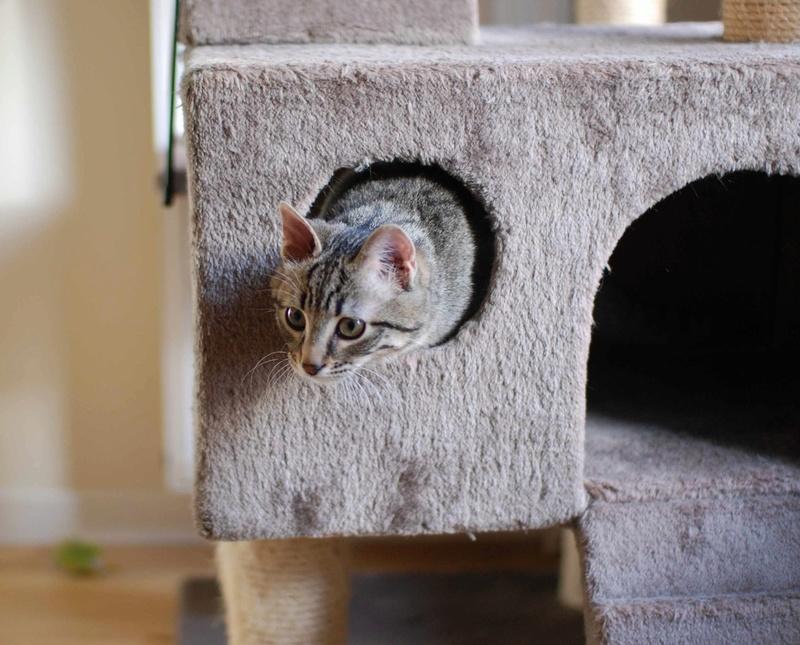 murano - MURANO, chaton européen tigré, né en Juin 2016 Murano17