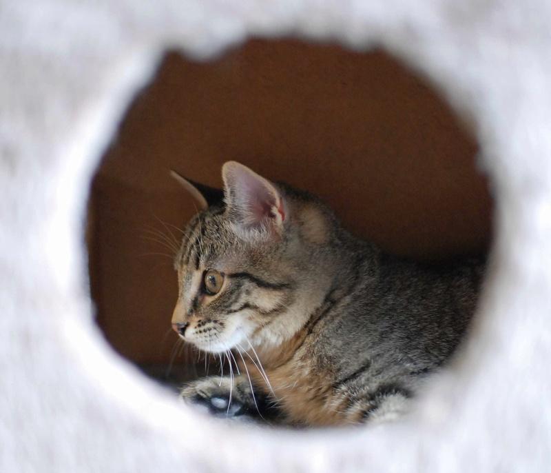 murano - MURANO, chaton européen tigré, né en Juin 2016 Murano18