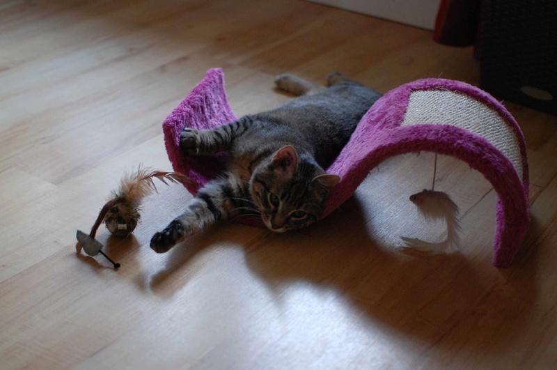 murano - MURANO, chaton européen tigré, né en Juin 2016 Murano19