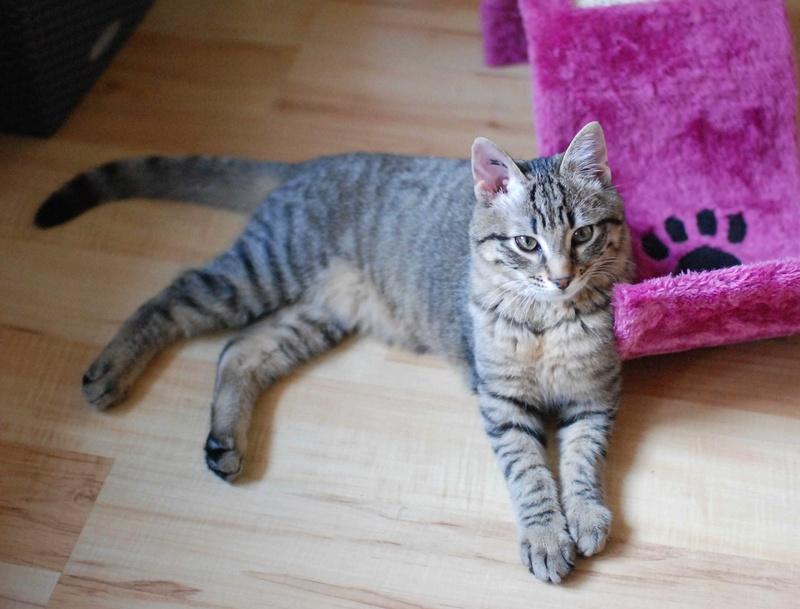 murano - MURANO, chaton européen tigré, né en Juin 2016 Murano21