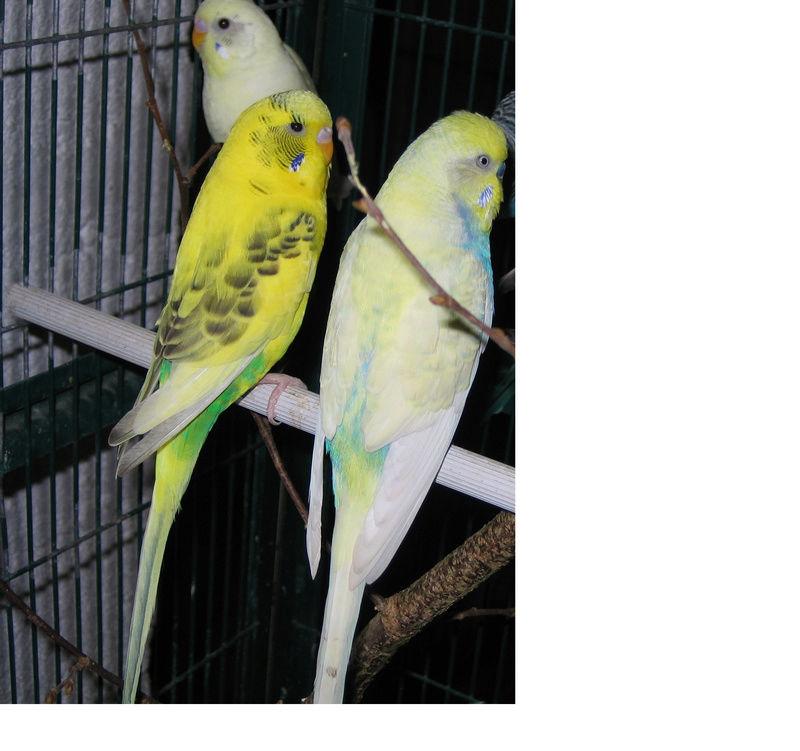 Sexe de deux perruches  Mimosa15