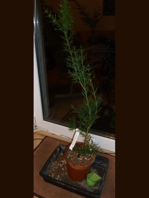 Kreuzdorngewächse - Rhamnaceae ... das ist eine sehr interessante Pflanzenfamilie - Seite 2 Collet10