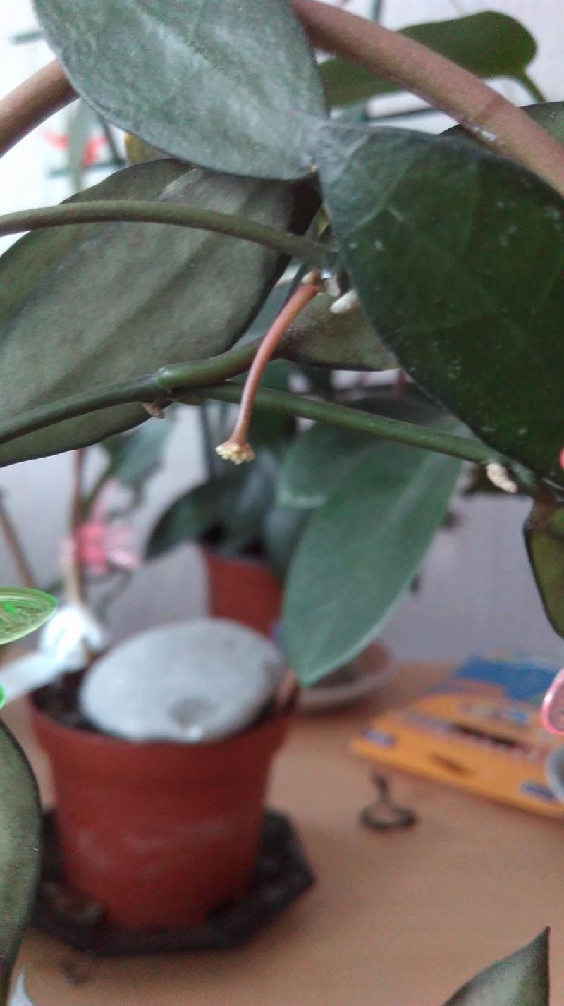 Hoya lacunosa Imag0210