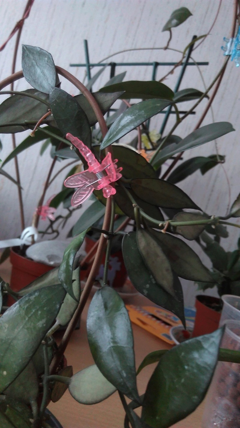 Hoya lacunosa Imag0310
