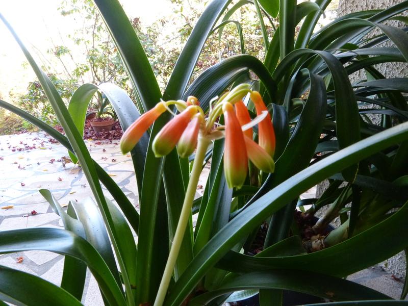 Clivia nobilis Clivia11