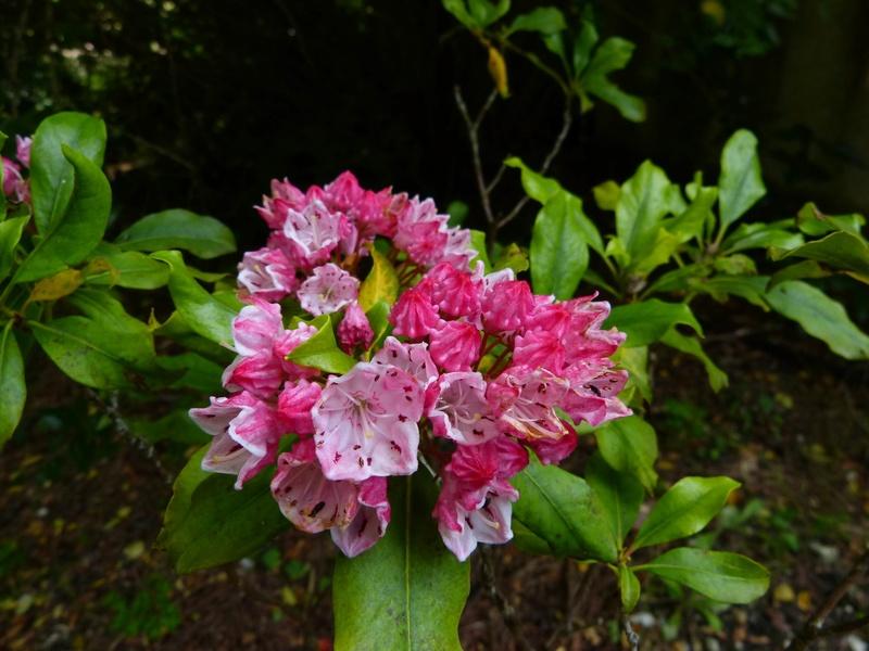 Kalmia latifolia - kalmie à feuilles larges  Kalmia12