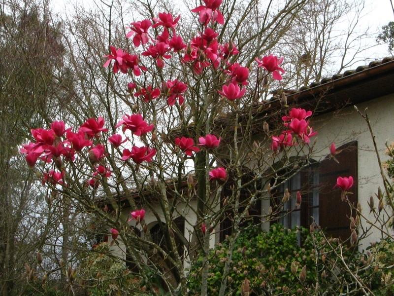 Recherche arbre pour mon jardin - Page 2 Magnol10
