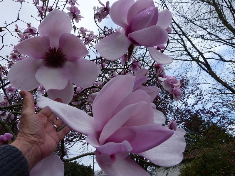 Recherche arbre pour mon jardin - Page 2 Magnol12