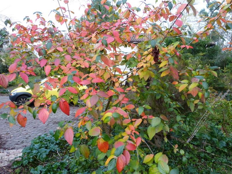 feuillages d'automne 2016 - Page 2 Viburn10