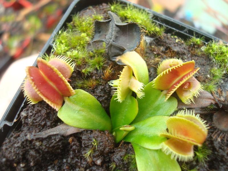 Suivi semis et germination Dionaea [Ted82] - Page 12 Dsc04917