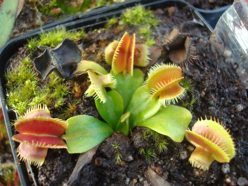 Suivi semis et germination Dionaea [Ted82] - Page 12 Dsc04918