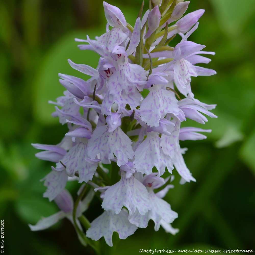 D. maculata subsp. ericetorum spéciale dédicace ! Dactyl11