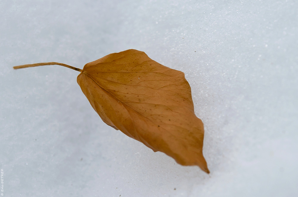 Graines, akènes, plume et neige Dsc_0104