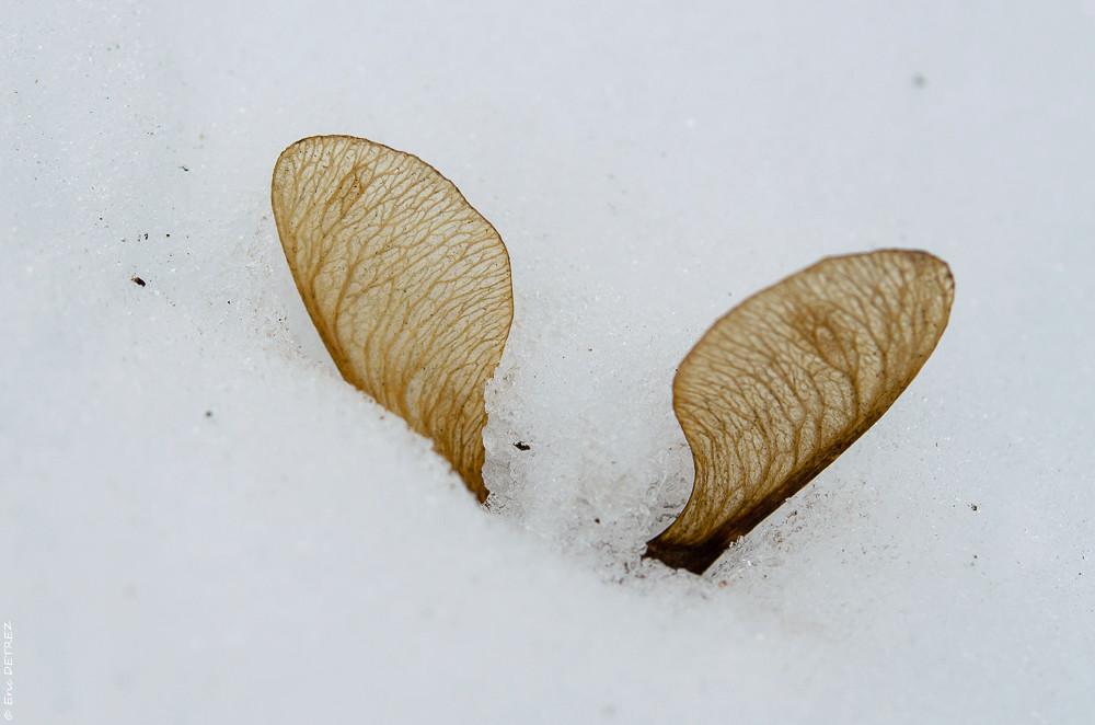 Graines, akènes, plume et neige Dsc_0105