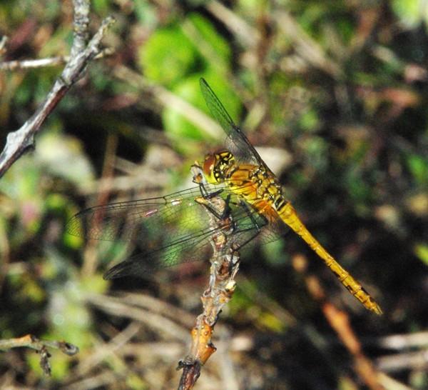 [Sympetrum sanguineum] Une libellule à déterminer Daprss10