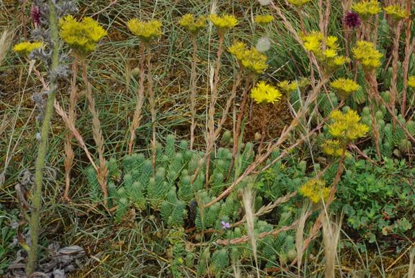 plantes de dunes : Sedum, Elytrigia, Vincetoxicum, Paronychia, Polygonum  Sedum_10