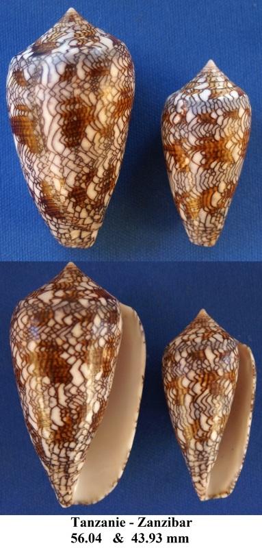 Conus (Cylinder) archiepiscopus  Hwass in Bruguière, 1792 Conus_11