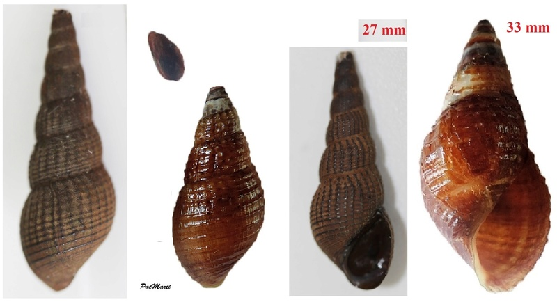 Tarebia granifera - (Lamarck, 1816) - de Guadeloupe Img_3111