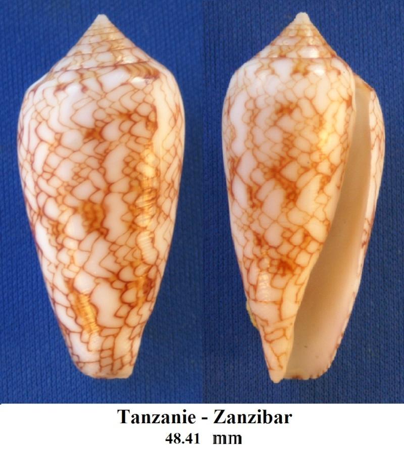 Conus (Cylinder) archiepiscopus sirventi   Fenaux 1943 Pict0037