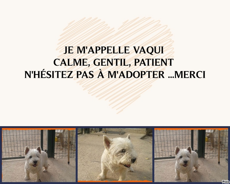 WESTIE A L'ADOPTION 12 ANS  00000064