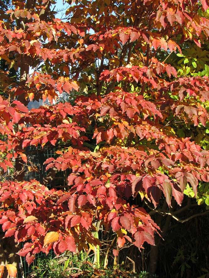 feuillages d'automne 2016 Cornus13
