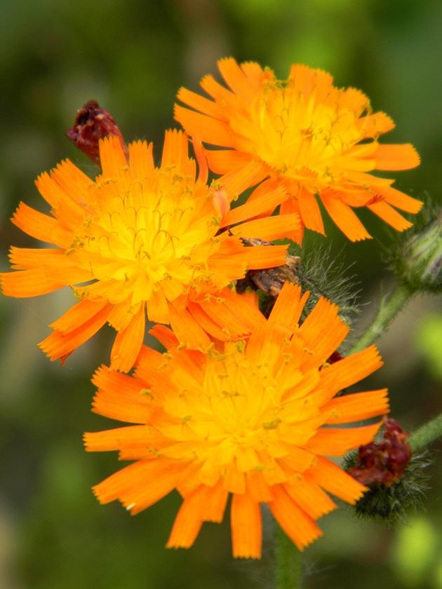 Pilosella aurantiaca (= Hieracium aurantiacum) - piloselle orangée Hierac10