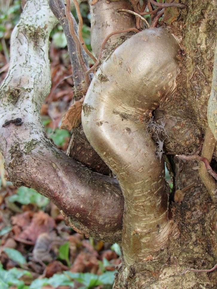 Corylus avellana 'Contorta'  Nois510