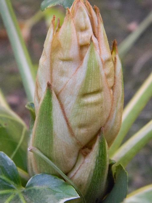 Fatsia japonica - fatsia du japon - Page 2 Octo710